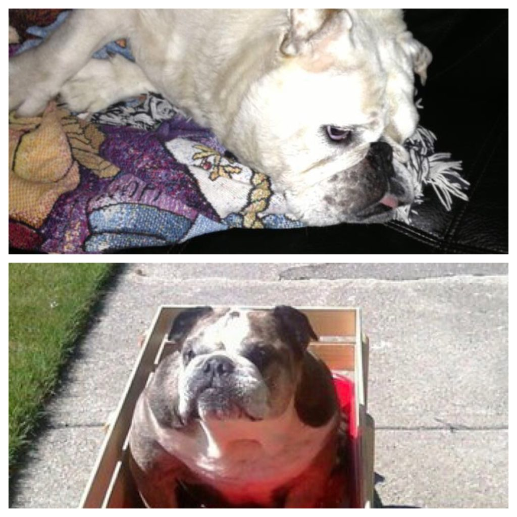 DJ and Daisy – Josie's previous bulldogs.